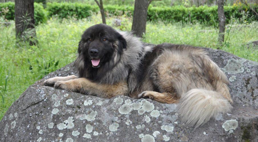 Serrano - Cão Serra da Estrela