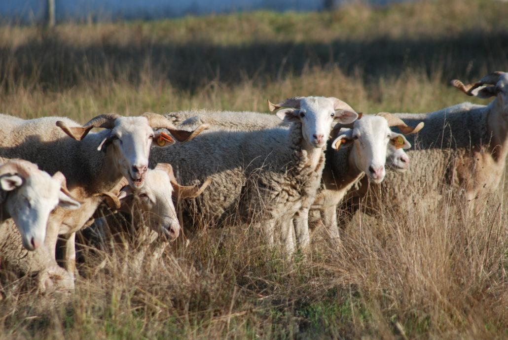 Ovelhas - Raça Bordaleira