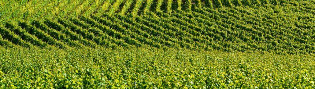 As vinhas extensas e verdes de Portugal...